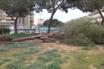 Vento a Palermo, 50 gli interventi: pino abbattuto in piazza Principe di Camporeale - Le immagini