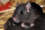 Trapani, ratti nel quartiere di Fontanelle Sud: è protesta