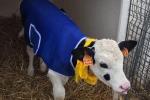 Maltempo: cappotti ai vitelli e torce anti gelo nei vigneti