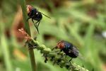 Le mosche diventano 'droni naturali' anti-epidemie