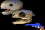 Nelle tartarughe è lenta anche l'evoluzione del cervello