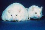 Obesità, ora è possibile studiarla senza i test sugli animali