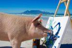 Pigcasso, maiale salvato dal mattatoio inaugura la sua mostra di pittura