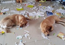 «Chi è il colpevole?» I due cani esausti dopo aver messo a soqquadro la stanza