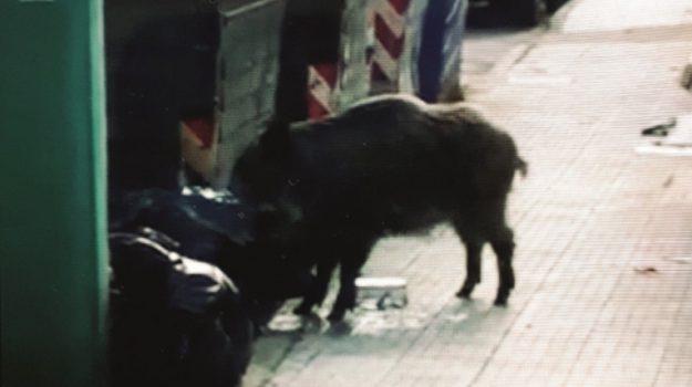 Cinghiali a spasso per le vie della città, è emergenza a Messina