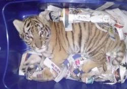 Cucciolo di tigre spedito come un pacco postale