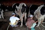 Agricoltura: Maccarese,inaugurato Laboratorio Standard Latte