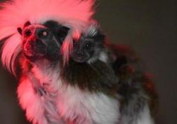 Debutta in società il cucciolo di Tamarino Edipo