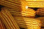 Il mais Ogm non è rischioso per la salute: lo dice una ricerca italiana