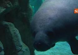 Fiocco azzurro all'Acquario di Genova, ecco il cucciolo di lamantino di 24 chili