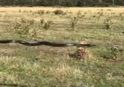 Il mistero del serpente «tigre» che non striscia ma fa l'equilibrista su di un cavo