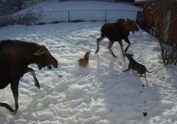 L'attacco dell'alce e il piccolo cane ha la peggio