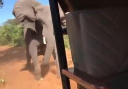 L'elefante impazzito rincorre la jeep di turisti