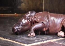 La gioia del cucciolo di rinoceronte che gioca con l'acqua: la prima volta divertente
