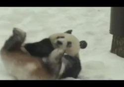 La gioia del panda («noleggiato» dalla Cina) che si rotola sulla neve in Finlandia