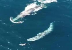 Le due balene grigie seguono i delfini e giocano con loro