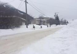 Perché in Canada è tutto più ordinato: anche i cervi si fermano allo stop