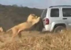 Suv percorre parco naturale, ma c'è un leone aggrappato alla ruota di scorta