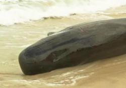 Australia, più di 100 balene arenate nella baia di Hamelin