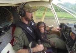 Baby scimpanzé rimasto orfano viene portato nella sua nuova casa: il viaggio in aereo è tenerissimo