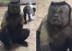 Cina, la scimmia dal volto umano conquista i visitatori dello zoo