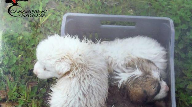 Cuccioli di cane Giarratana, Ragusa, Cronaca