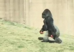Ecco Louis, il gorilla (da 2 quintali) che cammina come un uomo