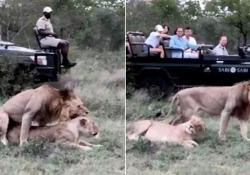I turisti nel parco safari rovinano davvero tutto