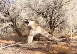Il cacciatore libera il puma finito nella trappola: l'impresa è pericolosa