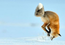 Il video più bello che vedrete oggi: la volpe si tuffa a testa in giù nella neve