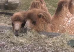 Illinois: anche gli animali dello zoo festeggiano San Patrizio