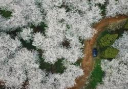 In Cina è già primavera: l'incantevole fioritura dei ciliegi