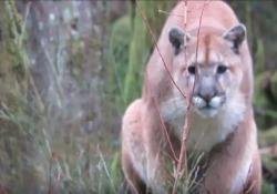 """Lo """"stalking"""" del puma: l'animale tampina l'escursionista per un'ora in mezzo alla foresta"""