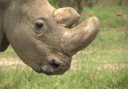 Morto l'ultimo maschio di rinoceronte settentrionale bianco