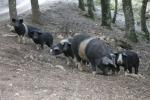 Carne suino nero punta ad affermarsi sul mercato