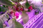 Ravanelli coltivati nell'orto 'marziano' (fonte: DLR)