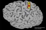 La corteccia somatosensoriale, l'area del cervello responsabile delle sensazioni corporee (fonte: Andersen lab)