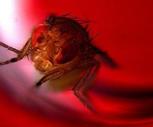 Un moscerino della frutta esposto alla luce rossa che attiva i neuroni che controllano l'eiaculazione (fonte: Avi Jacob, BIU Microscopy unit)