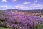 Villa Bardini, diretta fioritura glicine