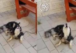 L'husky era scomparso da diversi giorni e il suo proprietario lo stava cercando disperatamente