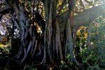 Riposto, le foto del ficus vecchio due secoli diventato albero monumentale