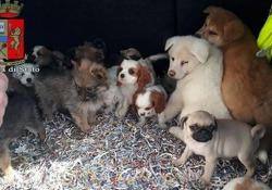 Bologna, 26 cagnolini stipati nell'auto