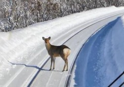 L'inusuale passeggiata di un branco di cervi in Giappone