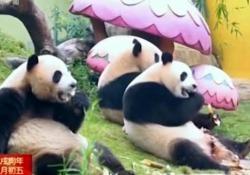 Per i tre cuccioli ospiti di un centro di Guangzhou, un banchetto a base di foglie di bambù, germogli e carote
