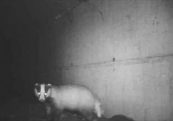 Il passaggio degli animali selvatici sotto la tangenziale esterna di Milano