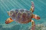 Ricostruzione di una tartaruga marina del Cretaceo, vissuta fra 100 e 66 milioni di anni fa (fonte: Drew Gentry)