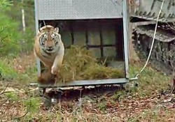 È la giornata mondiale per la fauna selvatica: dedicata ai grandi felini a rischio