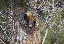 L'orso nero, ripreso da una webcam nel Glacier National Park, nel Montana
