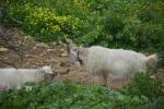 Agrigento, caproni nelle campagne