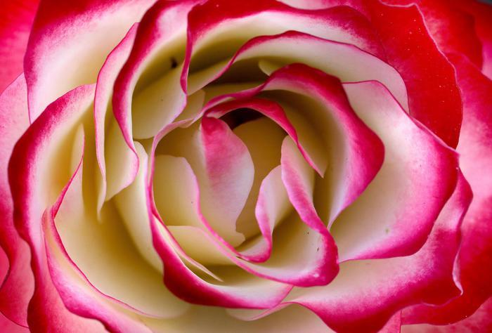 Mappato il Dna della rosa,geloso custode di profumi e colori ...